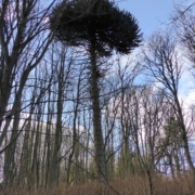 Photograph of a Monkey Puzzle tree in Duff House grounds