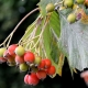 Colour photo of leaves and berries